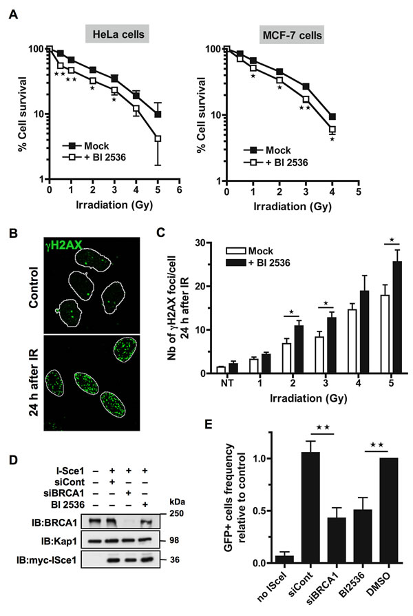 Inhibition of Plk1 sensitizes cells to ionizing radiations.
