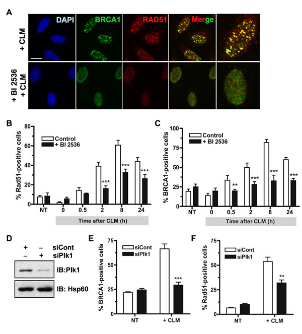 Inhibition of Plk1 impairs BRCA1 foci formation following DNA damage.