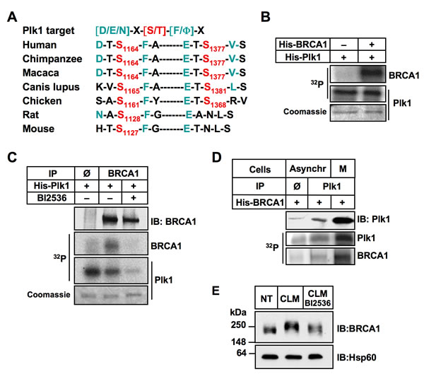 BRCA1 is a substrate of Plk1.