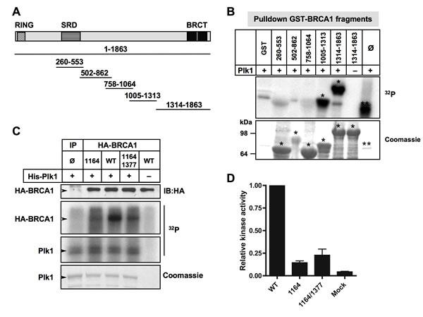 Plk1 phosphorylates BRCA1 mainly at Ser1164 residue