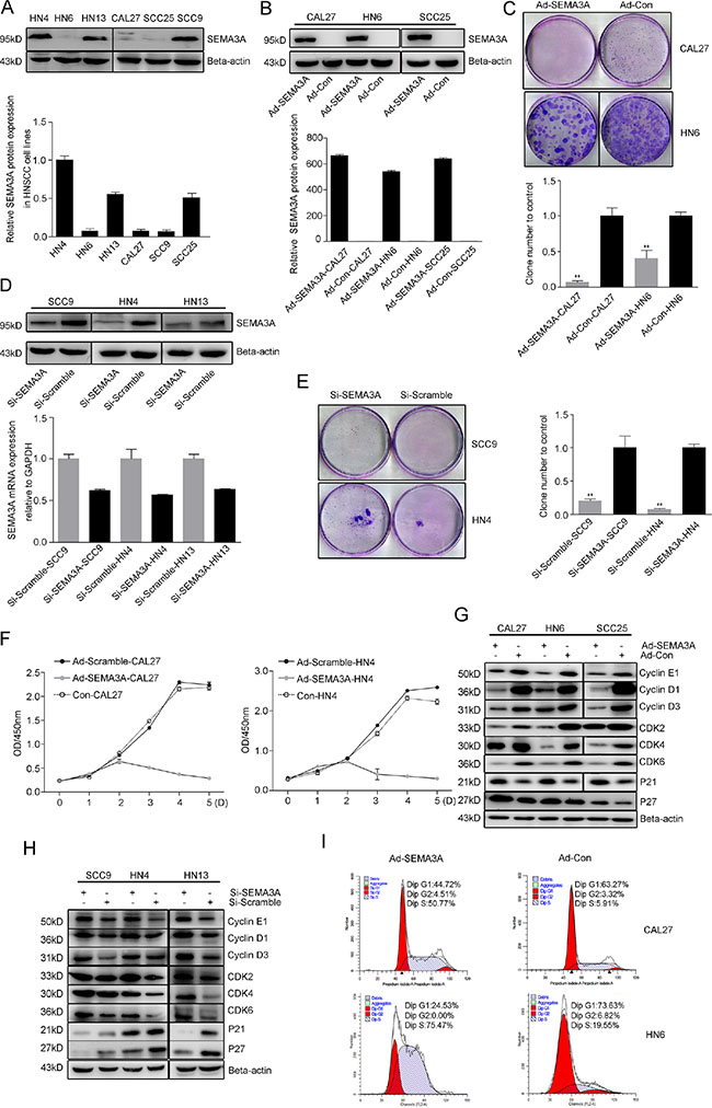 Endogenous SEMA3A inhibits HNSCC cell proliferation.