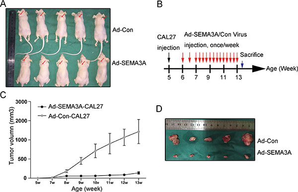 Inhibition of tumor growth and apoptosis in vivo induced by over-expression of SEMA3A.