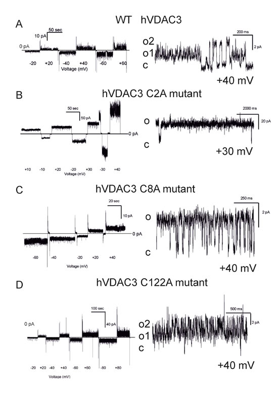 Conductance and voltage-dependence of hVDAC3 single, double and triple Cys>Ala mutants.