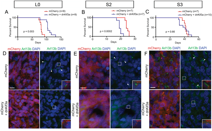 The relationship between dnKif3a expression and mouse survival following intracranial xenograft is cell-line dependent.