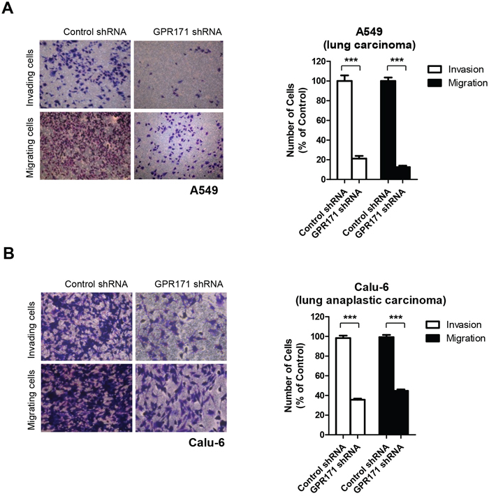 GPR171 triggers invasion and migration of lung cancer cells.