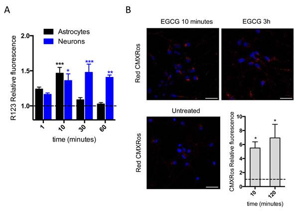 EGCG increases mitochondrial membrane potential.