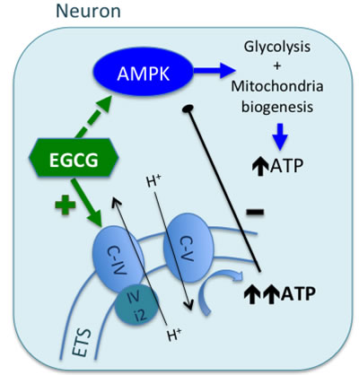 Proposed mechanism of EGCG activity in neurons.