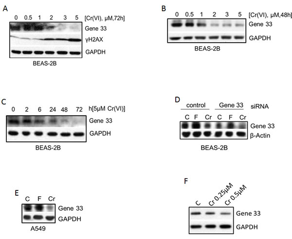 Cr(VI) suppresses the protein level of Gene 33.