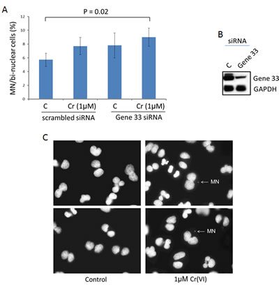 Gene 33 depletion enhances Cr(VI)-induced micronucleus formation in BEAS-2B cells.