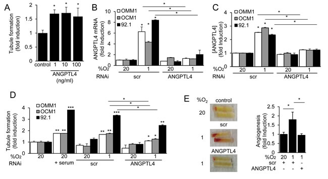 ANGPTL4 and VEGF promote the angiogenic potential of UM cells.