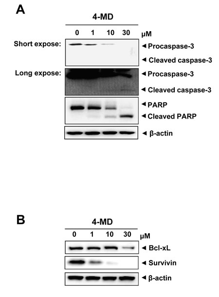 Effects of 4-MD on expression of apoptotic regulatory proteins in MG63 cells.