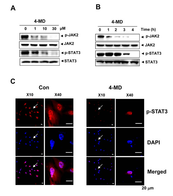 Effects of 4-MD on the JAK2/STAT3 pathway.