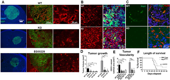 Mice lacking Nrp1 in microglia/macrophages and mice treated with an Nrp1 inhibitor exhibit impaired glioma growth.