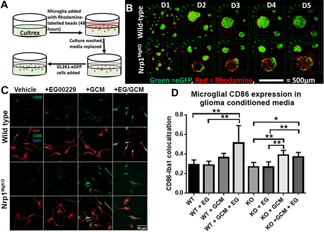 Nrp1-deficient microglia exhibit a different pattern of association and polarization in the presence of glioma-derived cells and factors.
