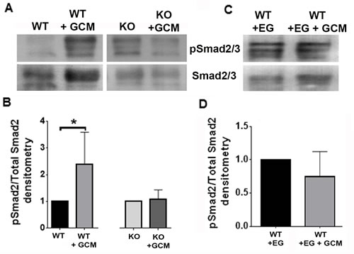 Nrp1 ablation or inhibition blocks SMAD2/3 activation in glioma-conditioned media.