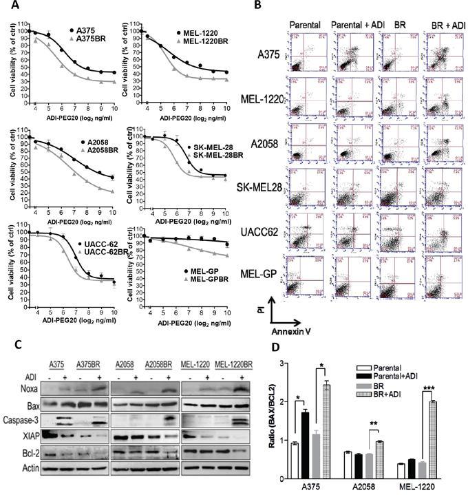 Arginine deprivation triggers caspase- dependent apoptosis in BR cells.