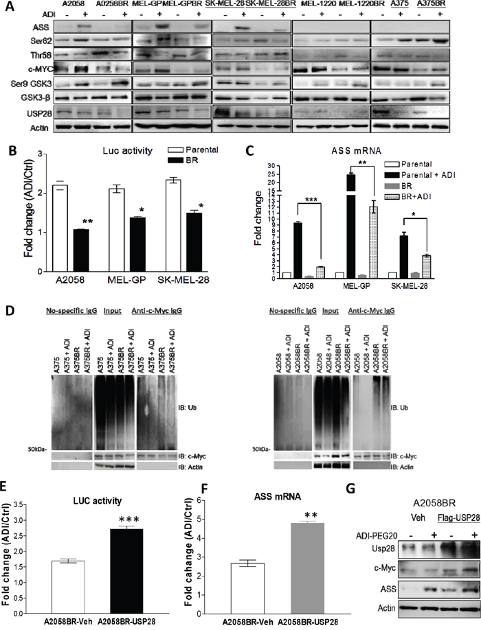 Down-regulated USP28 abrogates c-Myc-mediated ASS1 re-expression in BR cells.