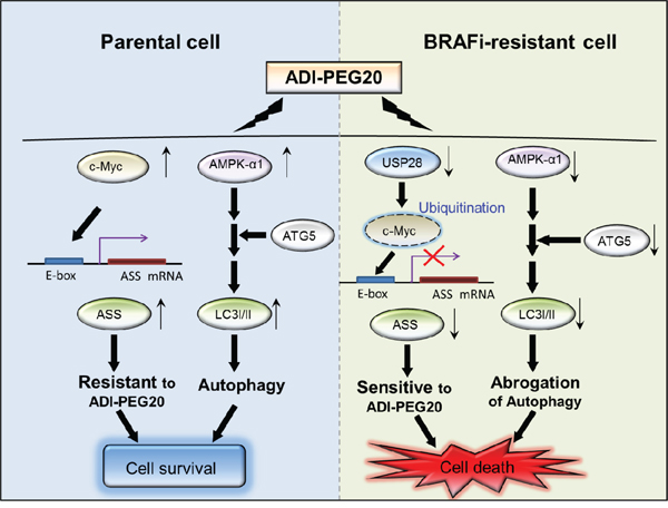 The schematic diagram illustrates the two mechanisms leading to sensitivity to arginine deprivation/ ADI-PEG20.