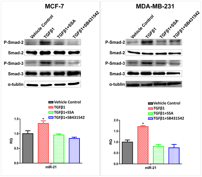 Downregulation of miR-21 by SSA is through repression of the phosphorylation of Smad2/3.