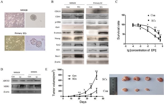 Sphere cells isolated from gastric cancer by serum free culture have the properties of CSCs.