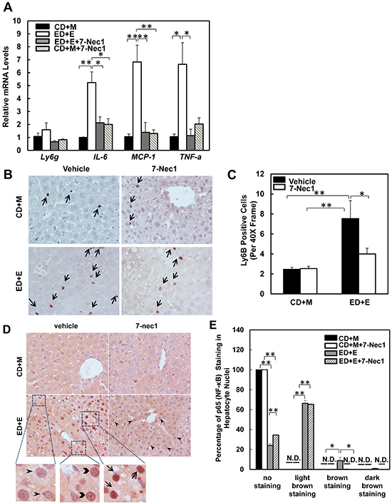 7-Nec1 decreases hepatic inflammation induced by Gao-binge alcohol treatment.