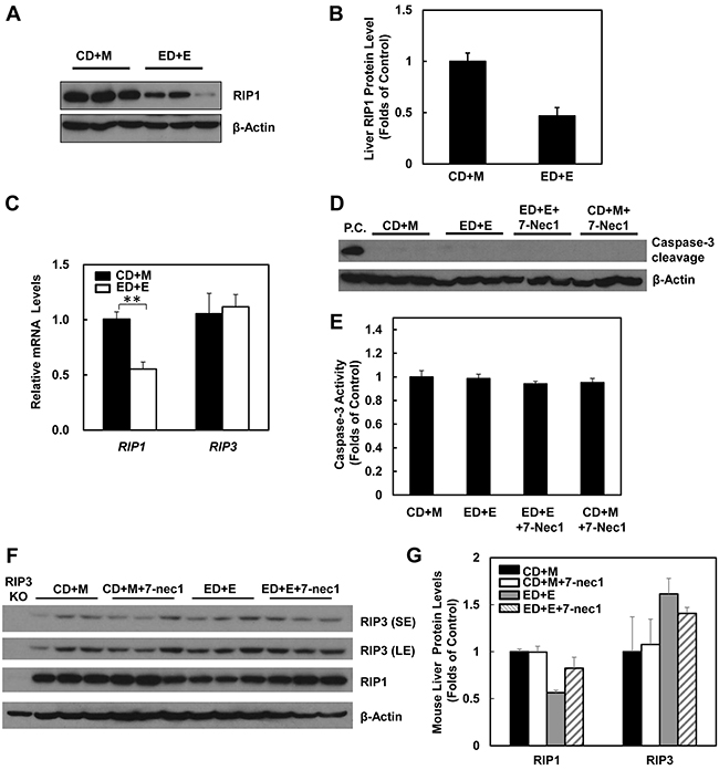 Gao-binge treatment decreases RIP1 expression and 7-Nec1 treatment does not affect RIP1 and RIP3 expression as well as caspase-3 activation.