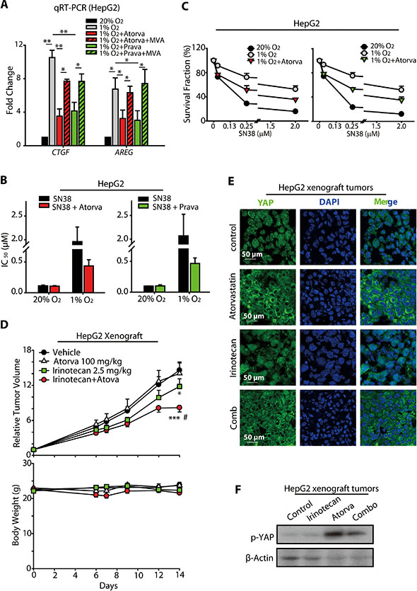 Statins increased the anti-cancer activity of SN38 in hypoxic HCC models.