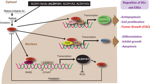 Regulation and function of ALDH1 in normal SCs and CSCs.