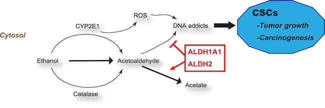 ALDHs and ROS in carcinogenesis.