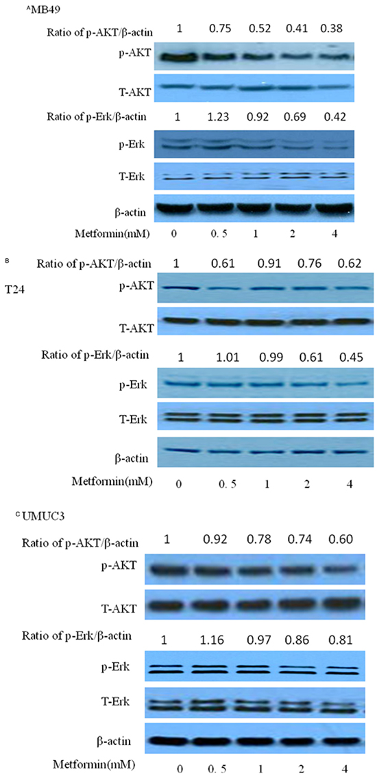 Effects of metformin on AKT and ERK in three bladder cancer cell lines MB49, T24, and UMUC3.