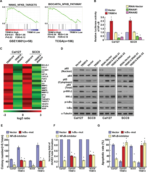 TRIM14 up-regulation activates the NF-κB signaling pathway in TSCC.