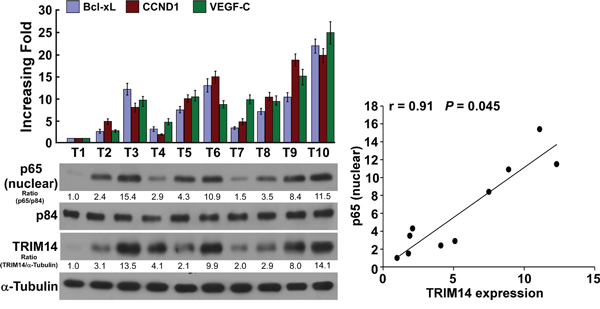 Clinical relevance of TRIM14-induced NF-κB activation in human TSCC.