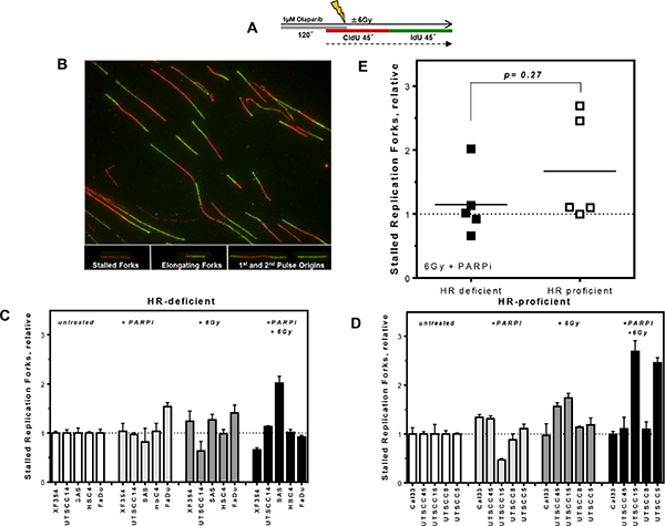 No differences in replication fork stalling after PARPi and irradiation in HR-deficient and HR-proficient HNSCCs.