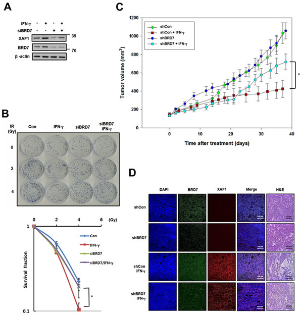 Effects of BRD7-dependent XAF1 expression