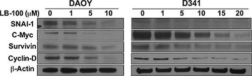 LB100 down-regulates expression of STAT3 target genes.