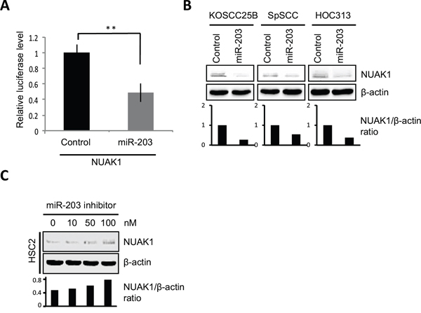 miR-203 suppresses NUAK1 expression.