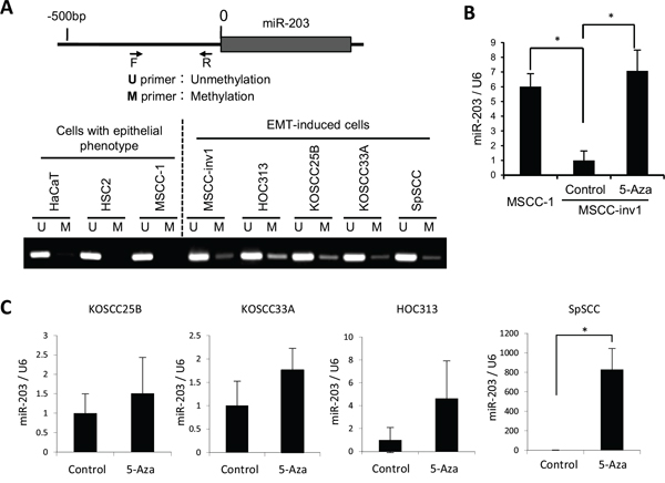 Downregulation of miR-203 by hypermethylation.