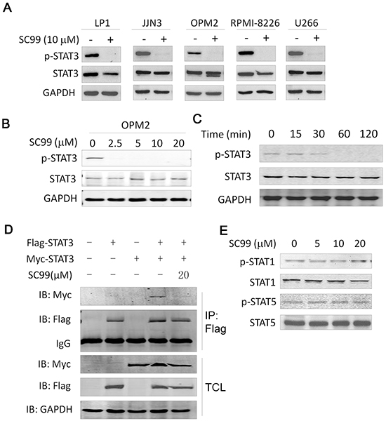 SC99 inhibits STAT3 activation in MM cells.