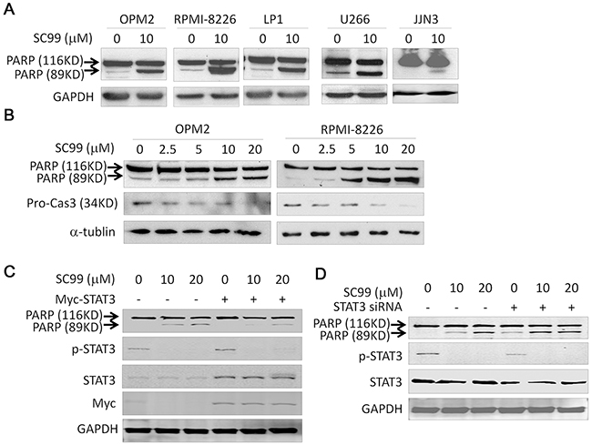 SC99 activates apoptotic signaling pathway but it is attenuated by ectopic STAT3.