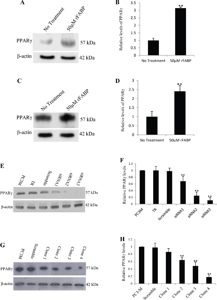 Increased expression of PPARγ by rFABP5 in LNCaP and 22RV1 cells and establishment of colonies expressing reduced level of PPARγ by siRNA in PC3-M cells.