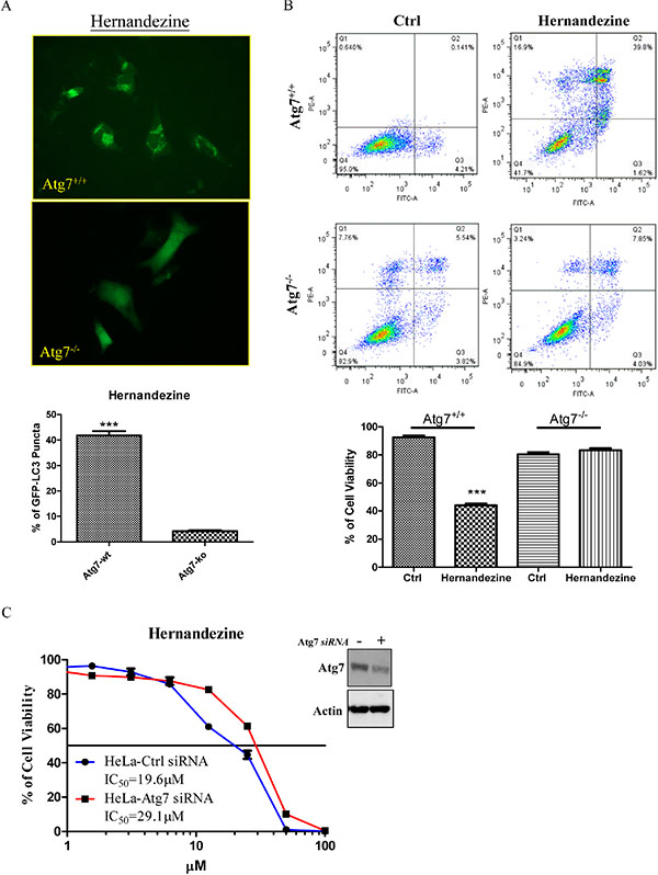 Hernandezine induced autophagy and cell death in Atg7 wild-type and deficient MEFs.
