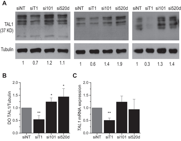 Inhibition of miR-520d-5p and miR-101 increases endogenous TAL1 protein levels in T-ALL cells.