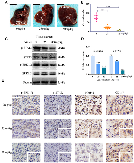 AC-73 reduced tumor metastasis by affecting the CD147/ERK1/2/STAT3 pathways in vivo.