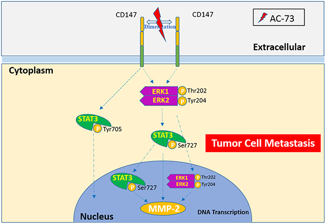 A proposed working model for AC-73-mediated suppression of CD147/ERK1/2/STAT3 signaling to inhibit HCC metastasis.