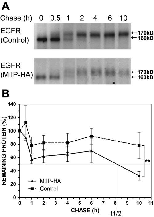 MIIP accelerates EGFR protein turnover.