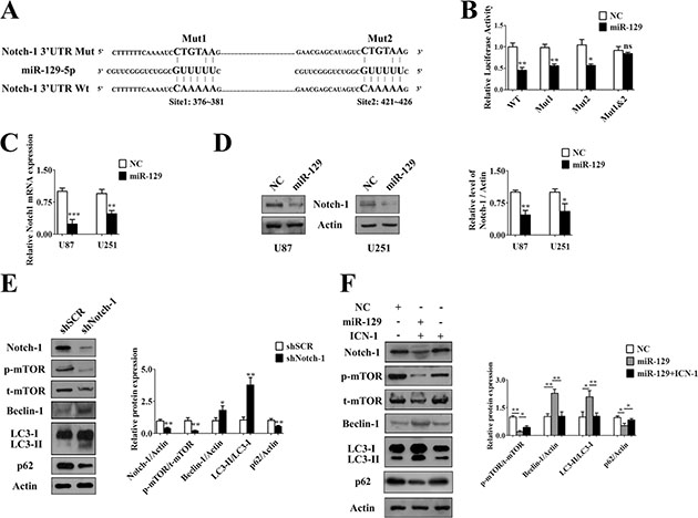 MiR-129 induced autophagy by targetedly suppressing Notch-1.