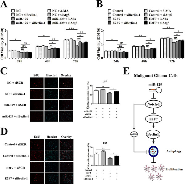 Suppression of miR-129-induced autophagic flux rescued cell viability of U87 cells.
