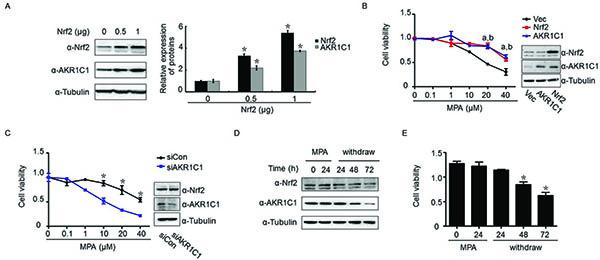 AKR1C1 mediated Nrf2-driven progestin-resistance.