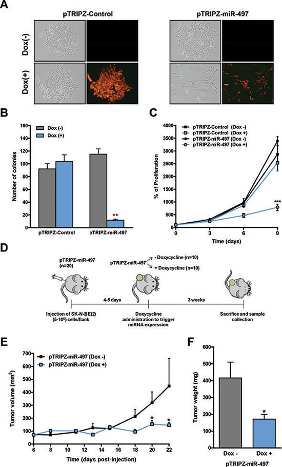 Inducible expression of miR-497 impairs colony formation and proliferation in vitro and tumor growth in vivo.