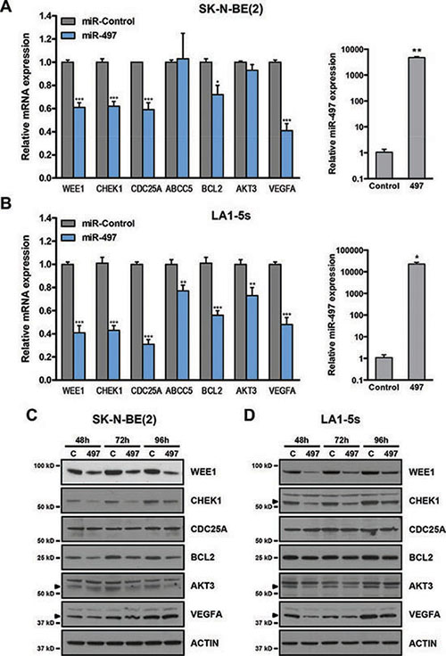 MiR-497 regulates the expression of cell cycle, survival and angiogenesis genes.